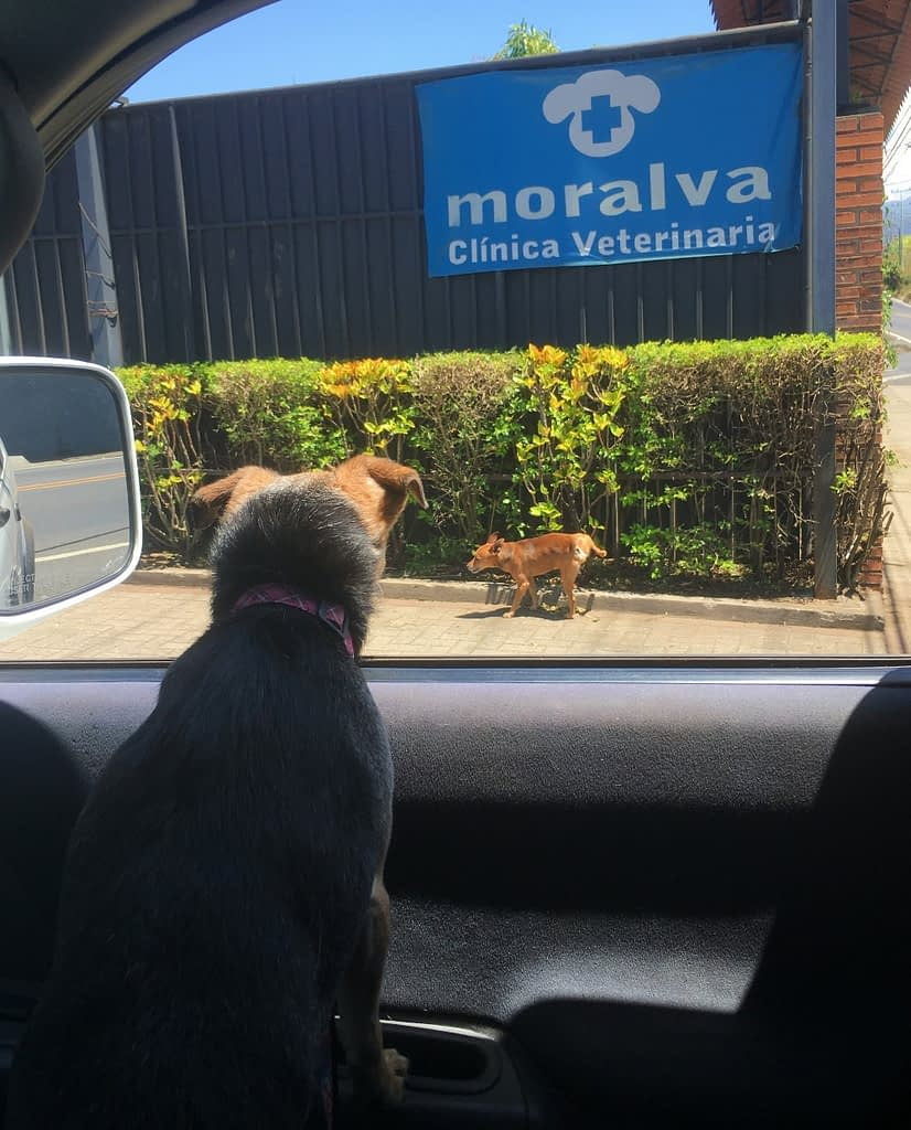 Dog at vet watching another dog pee