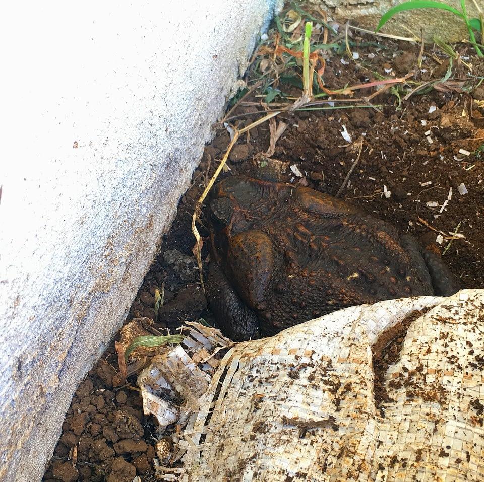 Cane toad sleeping